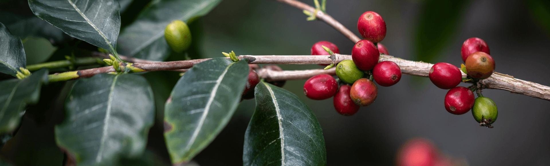 História do café    Por trás de cada momento Delta Q, há uma longa história…